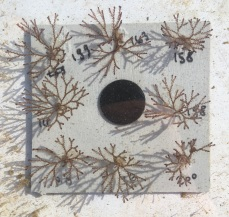 One of Lukas' Bugula plates